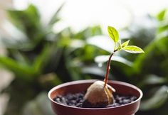 Avokado nasıl ekilir öğrenerek bu lezzetli meyveyi evde kendi kendinize kolay bir biçimde yetiştirebilirsiniz. Ülkemizde en sevilen tropikal meyveler arasında yer alan avokado lezzetli bir meyve olmasının yanı sıra uzun süre tok tutan özelliği ile de ilginizi çekecek bir meyve türü. Peki, evde avokado nasıl ekilir? Avokado nasıl ekilir sorusunu sizler için araştırdık, yazımıza göz atmadan geçmeyin.