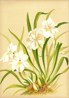 Miner, Harriet Orchid Prints 1889