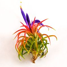 Custom Blooming Air Plant Wholesale Order - Minimum Order of 25 Plants. $1.75, via Etsy.
