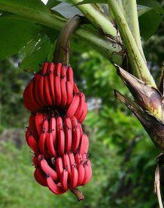 55 Best My Banana Images On Pinterest Fruit Trees Exotic Fruit