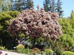PlantFiles Pictures: Indian Hawthorn 'Majestic Beauty' (Rhaphiolepis indica), 1 by doss Famous Daves, Art Thou, Small Trees, Backyard Landscaping, Shrubs, Seeds, Indian, Landscape, Privacy Screens