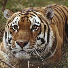 Tiger Calgary Zoo