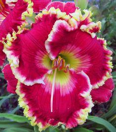 Derek's Triumph, Pete Harry 2017 Unique Flowers, All Flowers, Exotic Flowers, Fresh Flowers, Pretty Flowers, Purple Flowers, Tree Lily, Daylily Garden, Wild Flower Meadow