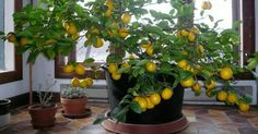 How To Grow An Endless Supply Of Lemons From Seed (This Will Last You A Lifetime)... - http://www.ecosnippets.com/gardening/grow-lemons-from-seed/