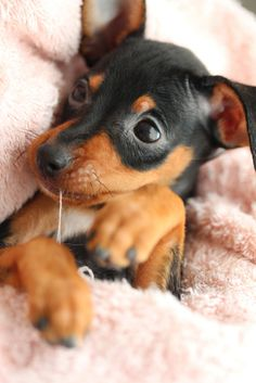 Simply Canine — by T K // Miniature Pinscher