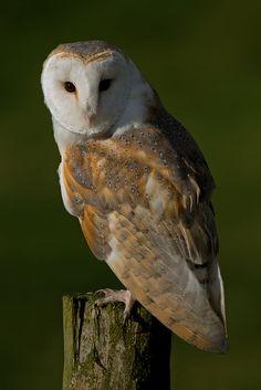 Barn Owl | by MOZBOZ1