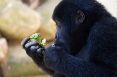 Youthful mountain gorilla of Bwindi