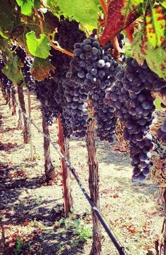 Almost time to harvest the grapes at Blackbird Vineyards! #napaharvest #harvest2013 #napavalley
