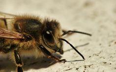 #Makroaufnahme einer #Biene