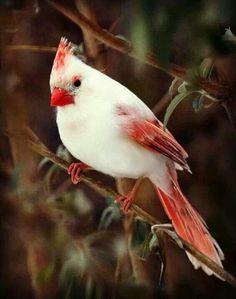 White cardinal