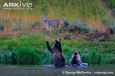 Female brown bear defending a bison carcass from a grey wolf, Yellowstone Park population