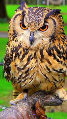 Indian eagle owl. Bubo bengalensis Higher classification: Horned owl