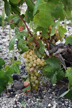 The best known white varieties of the island are Aidani, Asyrtiko and Athiri, while the best known red varieties are Mandilaria and Mavrotragano. On the island there are also rare, old, local varieties like Voudomato, Gaidouria, Katsano, Potamisi, Flaskia, - Copyright © wondergreece.gr