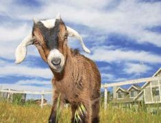Getting Started with Goats for Milk and/or Meat | from Grit.com - Whether you're looking for chevon,  chevre or some of both, these tips for finding, choosing and raising goats will stand you in good stead (; Keeping Goats, Raising Goats, Raising Rabbits, Types Of Goats, Goat Care, Boer Goats, Goat Meat, Goat Farming, Hobby Farms