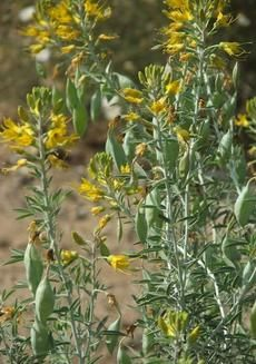 Isomeris arborea, Bladderpod, with its pretty yellow flowers, and strange-shaped…