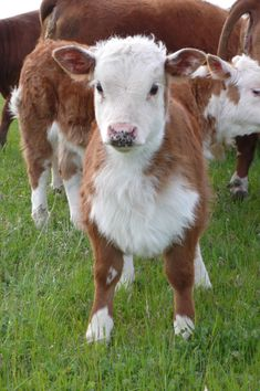 Miniature Herefords from Montgomery Mini Herefords - Oh my gosh why is it so cute Miniature Hereford, Miniature Cattle, Large Animals, Zoo Animals, Cute Animals, Miniture Animals, Wild Animals, Chat Munchkin, Excited Animals