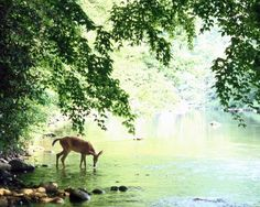 A lone white-tailed deer drinks water from the banks of the Cheat River, 1967.