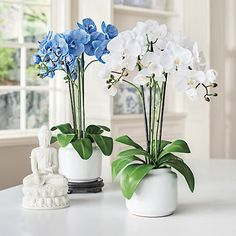 .B. - Blue and White Flowers - Triple Phalaenopsis Orchids