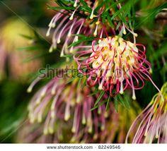 WINPARA GOLD Grevillea native yellow-pink flowers plant in pot Australian Native Garden, Australian Native Flowers, Australian Plants, Australian Wildflowers, African Plants, Garden Express, Screen Plants, Native Australians, Aussies