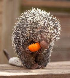Porcupine with pumpkin
