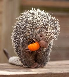 Porcupine with pumpkin