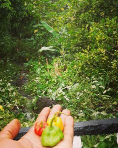 Pepper dem! Some call this the natural mosquito repellent... Ites red gold and green - #ecotourism #rasta #countryside #ital #vegan #vegetarian #season #pepper #scotchbonnet #jamaica #jamaicanfood #onlyinjamaica #organic #portland #portantonio #nature #natural #trekking #agriculture #backpacking #gold #caribbean #retreat #health #hot #spicy #cuisine #wilderness by portlandriversideretreat