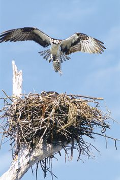 The International Osprey Foundation began on Sanibel Island in 1981.