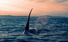 End whaling NOW. No excuses. Yes, that means you Japan.