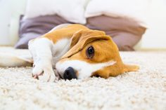 Are you interested in a Beagle? Well, the Beagle is one of the few popular dogs that will adapt much faster to any home. Art Beagle, Beagle Puppy, Epilepsy In Dogs, Dog Illnesses, Pet Allergies, Sick Dog, Dog Behavior, Pet Health, Mental Health
