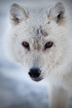 Arctic Wolf Ellesmere Island, Nunavut, Canada