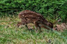 Reeves Muntjac Deer Fawn