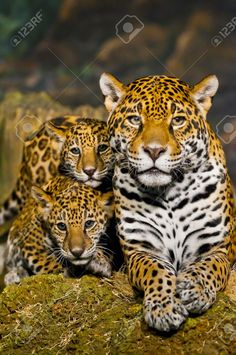 17973849-Two-little-Jaguar-Cubs-and-their-mother-looking-into-the-camera-Stock-Photo.jpg (863×1300)