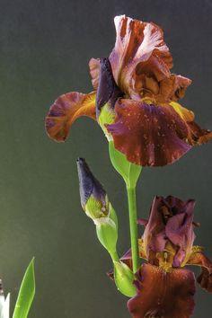 rich, red, bearded iris