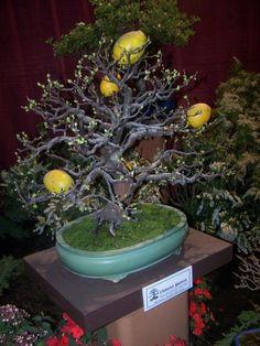 Bonsai Lemon Tree At 2010 Gardenscape Show In Rochester, Ny