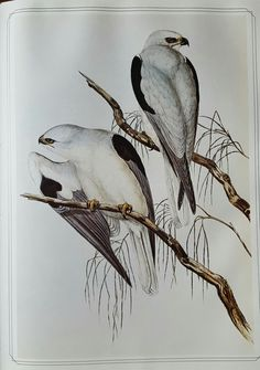 Australian Black-shouldered Kite, John Gould Birds of Australia (1840-48) Vol I plate 23  John Gould FRS 14 September 1804 – 3 February 1881 was an English ornithologist and bird artist. He published a number of monographs on birds, illustrated by plates that he produced with the assistance of his wife, Elizabeth Gould, and several other artists including Edward Lear, Henry Constantine Richter, Joseph Wolf and William Matthew Hart. He has been considered the father of bird study in Australia…