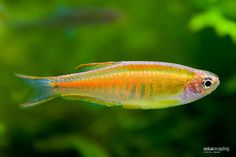 Glowlight Danio |- is a brightly colored and showy cousin of the popular Zebra Danio. Tropical Aquarium, Tropical Fish, Danio Fish, Freshwater Aquarium Fish, Fish Aquariums, All Fish, Fish Fish, Guppy, Sea Creatures