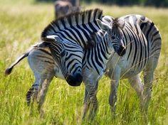 Zebra mom and baby via www.Facebook.com/PositivityToolbox