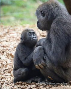 """""""Please, Mom, please!"""" Some things are universal. (Silverback gorilla mother & child)  @ Zoo Atlanta"""