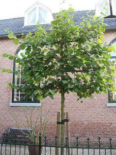 Leilinde kopen   Tilia Pallida meest verkochte Leiboom   Bomenenzo.nl