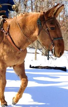 """""""Lilly"""" Buckskin Molly Photo by C Madison Horses And Dogs, Cute Horses, Beautiful Horses, Animals Beautiful, Funny Horses, Farm Animals, Animals And Pets, Muli, Work With Animals"""