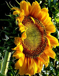 This photo shows the complexity and texture of the center of a sunflower. I love the dynamic nature of the petals and the leaves. Rich, vibrant colors. A painting waiting to happen!