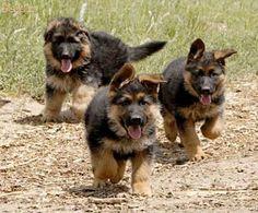 GERMAN SHEPARD PUPPYS