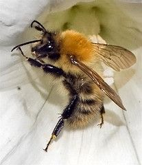 Bee taking a graceful stance on a delicate petal.