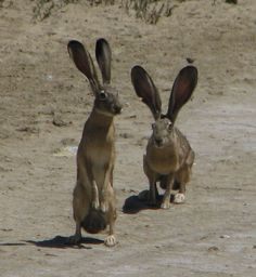 Warm Springs and Jack Rabbits everywhere!