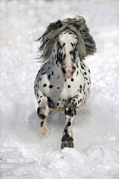 Appaloosa horse in snow - Beautiful capture.
