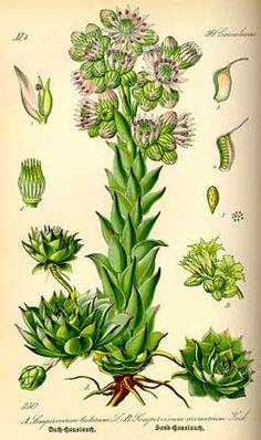 Sempervivum botanical print