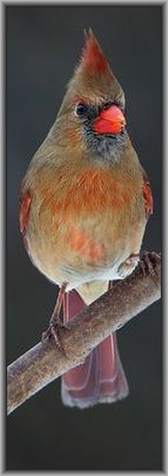 beautiful Cardinal bird #photo by  Gary Fairhead on flickr.com