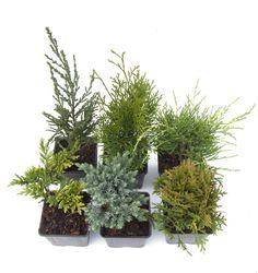 Buy award-winning conifer collection Award-winning 'conifer collection'