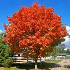 Shade Trees for Sale | Fast Growing Trees