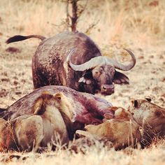 #circleoflife #zambia #chichele #lion #pride #hunt #buffalo #safari #africa #game #drive #action